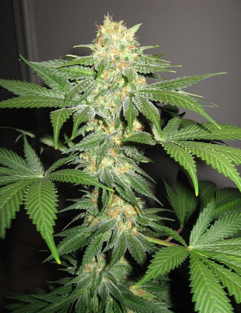 indica weed plant