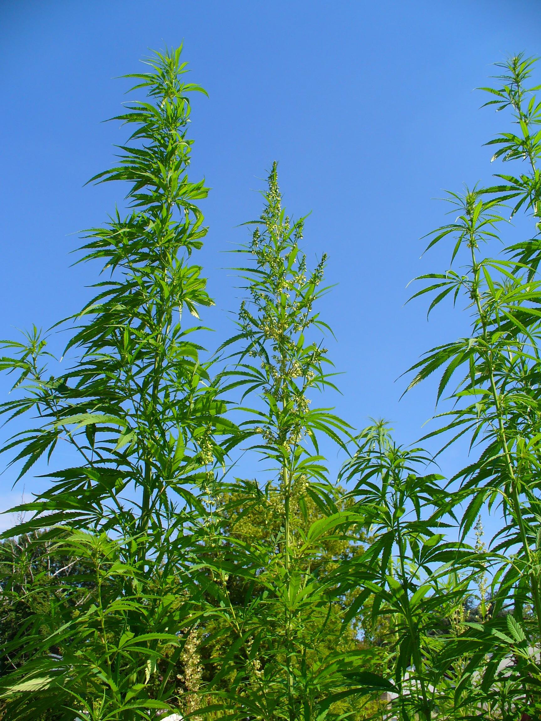 sativa weed plant