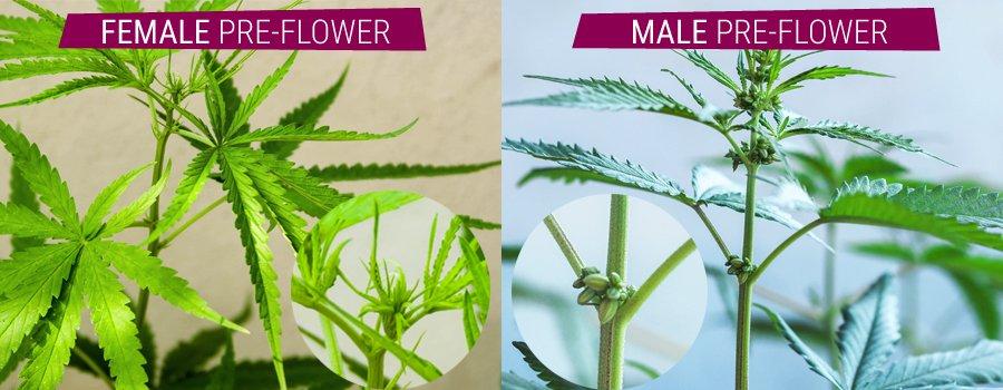 male/female plant cannabis
