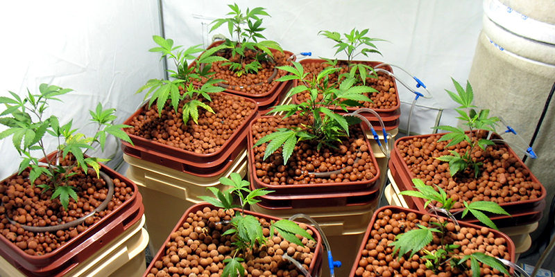 growing weed hydroponics